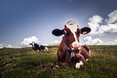 pasture: Nice cow looking at camera and relaxing on grass, blue sky on background
