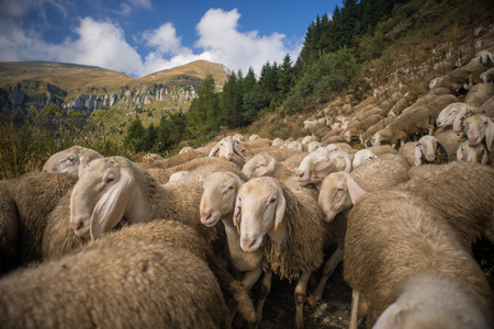 wolly: Flock of sheeps grazing in nature and mountain landscape on background