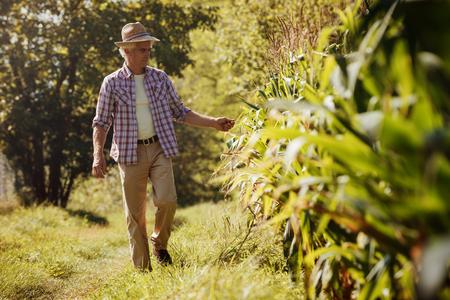 agricultor: granjero feliz en el campo caminando y comprobaci�n de las plantas de ma�z Foto de archivo