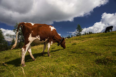 conservation grazing: Cow grazing in a meadow, mountain landscape on background and blue summer sky Stock Photo