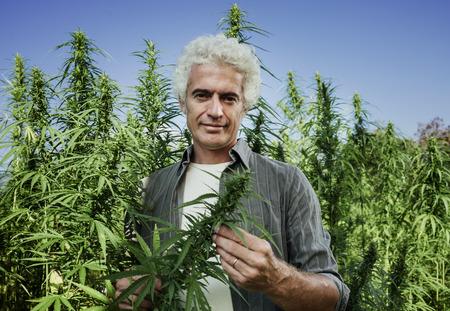 自信を持って農家の日当たりの良い夏の日、農業および漢方薬医学概念の中にフィールドの大麻植物をチェック