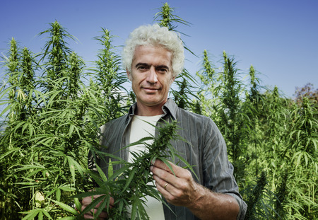 Confident farmer checking hemp plants in the field during a sunny summer day, agriculture and herbal medicine concept