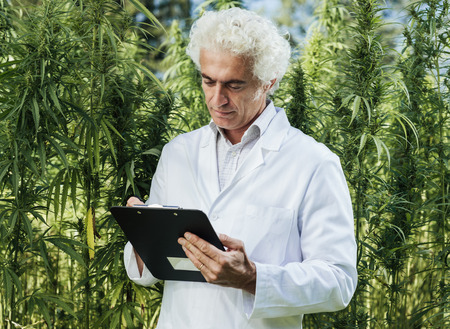 Scientist checking hemp plants in the field, he is writing down notes on a clipboard, herbal alternative medicine concept