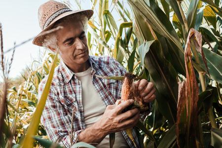 dearth: Farmer checking corn plants in the field, he is peeling a cob