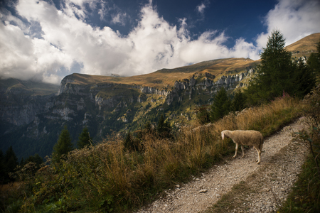 conservation grazing: Sheep grazing in nature and mountain landscape on background Stock Photo