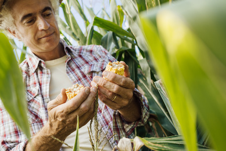 Farmer checking corn plants in the field, he is holding a cob, food production and agriculture concept 写真素材