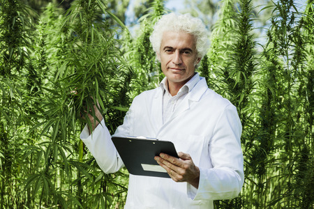 ganja: Scientist checking hemp plants in the field, he is holding a clipboard, herbal alternative medicine concept Stock Photo