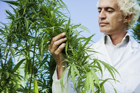 medical doctor: Scientist checking hemp plants in the field, alternative herbal medicine concept