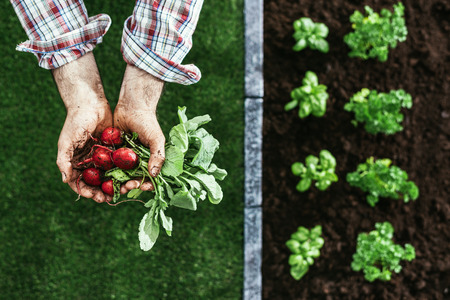 cupped: Farmer holding radishes in his hands and plants growing in the garden, farming and healthy vegetables concept Stock Photo