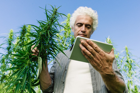 digital tablet: Confident farmer in a hemp field using a digital touch screen tablet Stock Photo