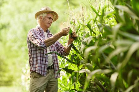 champ de mais: agriculteur heureux dans les plants de maïs champ de contrôle au cours d'une journée d'été, l'agriculture et la production alimentaire notion ensoleillée Banque d'images
