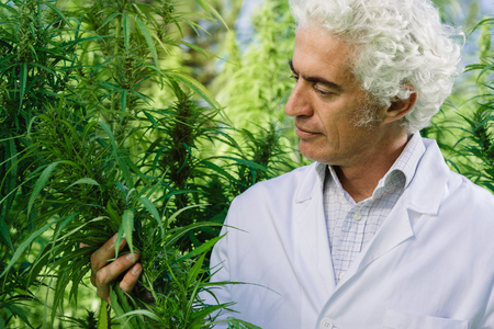 Scientist checking hemp plants in the field, alternative herbal medicine concept