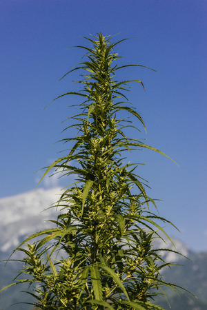 Hemp plant with flowers and blue sky on background Stock Photo