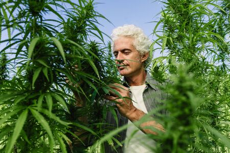 agronomist: Smiling confident man in a hemp field, farming and alternative medicine concept