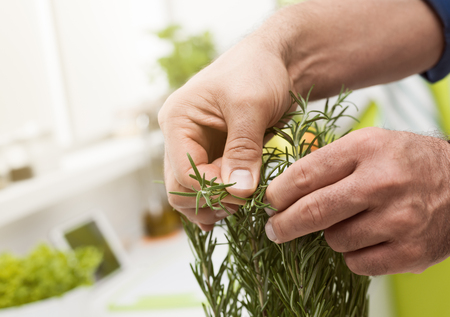 Cook picking fresh homegrown rosemary, hands close up: mediterranean cuisine and natural herbs