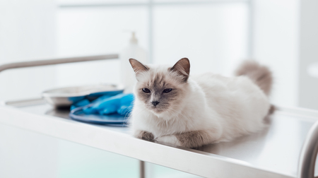 Beautiful cat lying down on the surgical table at the veterinary clinic, pet healthcare concept