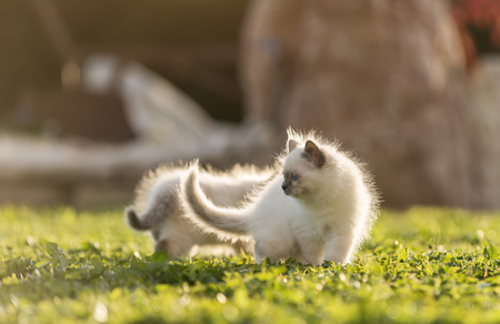 Cute siblings kittens playing together on the grass in the garden on a sunny day