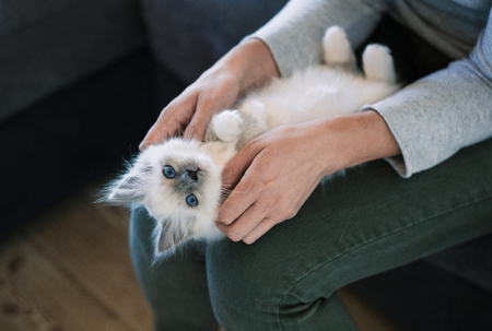 Cuddly sleepy kitten lying on his owner's lap and purring, the woman is cuddling it Stockfoto