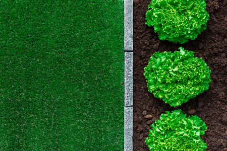 Fresh lettuce growing in the garden and lush meadow, healthy food and gardening concept Banco de Imagens