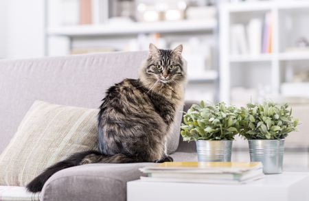 Beautiful long hair cat on the couch at home, relaxing and looking at camera Banco de Imagens
