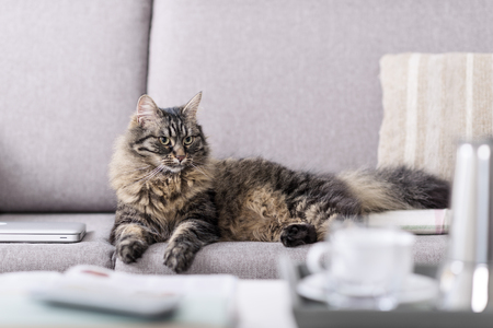 Beautiful long hair cat lying on the couch at home and relaxing Imagens