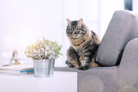Beautiful long hair cat on the couch at home, relaxing and looking away