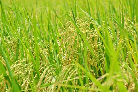 is green: Rice growing in the field