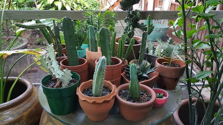 is green: Beautiful cactus planted in a pot placed on the floor