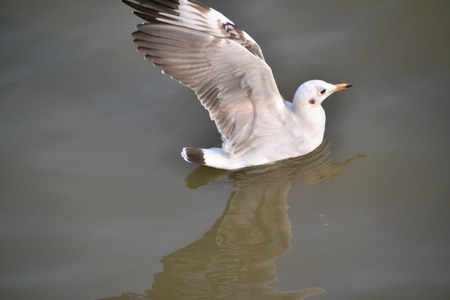 The seagull is spreading its wings, floating in the sea