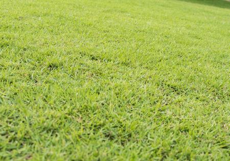Green lawn grass background.