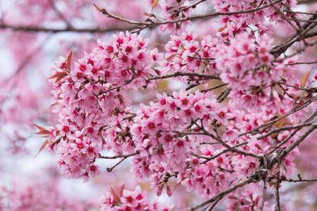 Cherry blossom flowers.