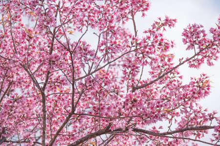 Sakura cherry blossom tree.