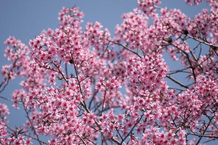 Spring season with cherry blossom tree on blue sky.