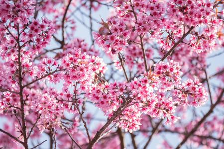 Spring blossom with cherry blossom on blue sky.
