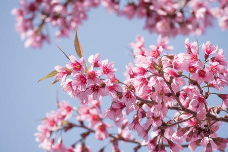 Cherry blossom branch on blue sky in spring.