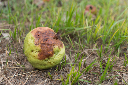 Rotten Guava fruit, damage from the garden