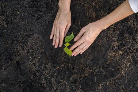 Gardener planting seedling in soil. Stock Photo