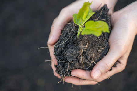 Young plant into soil in hands. Stock Photo