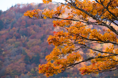 Beautiful orange maple tree in autumn. Stock Photo