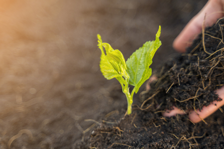 Close up of farmer hand planting young tree with soil.