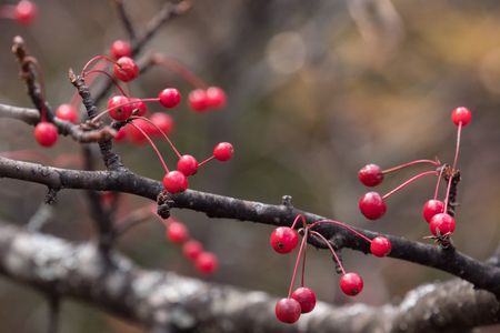Red berry on branch on a blurry background