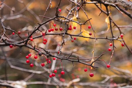 Red berry on branch with a blurred autumn leaves background.