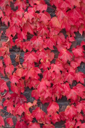 Red ivy leaves climbing on the wall background. Archivio Fotografico - 132090960