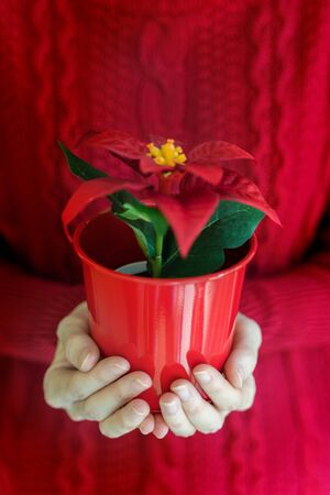 Woman hands hold christmas poinsettia flower in vase.
