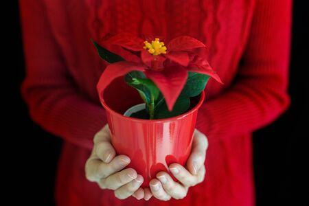 Female hands holding christmas poinsettia flower in pot on black background.