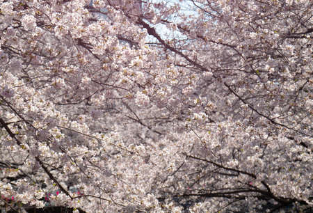Cherry blossom branches in full bloom. 스톡 콘텐츠