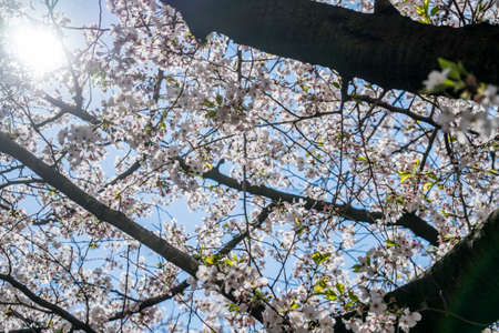 Under a cherry blossom tree blooming with sunlight and blue sky in spring.