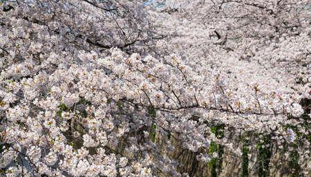Beautiful sakura flowers bloom in spring season. Фото со стока