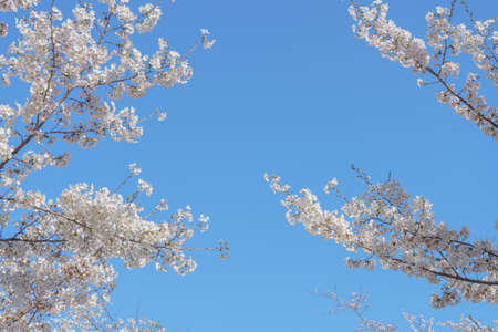 Spring background of blossoming sakura cherry blossom frame against blue sky with copy space for text.