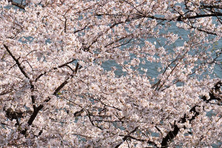 Cherry blossoms in full bloom with the river in the background.
